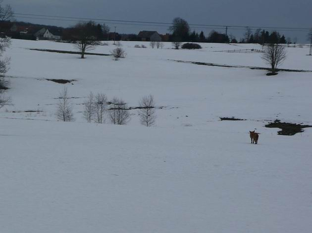 Na pláních v okolí Hasselfelde dávají lišky dobrou noc- a někdy i dobré ráno. 28.2.2010 © Tomáš Kraus